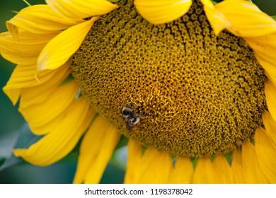 bumblebee on yellow sunflower