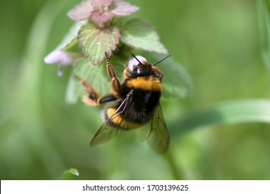 Bumblebee (or bumble bee, bumble-bee, or humble-bee) a species in the genus Bombus, part of Apidae, one of the bee families