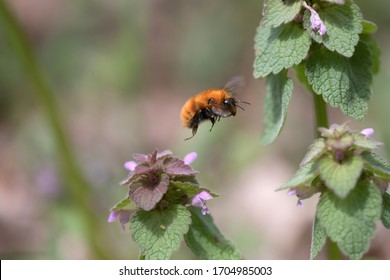Bumblebee (or bumble bee, bumble-bee, or humble-bee) a species in the genus Bombus, part of Apidae, one of the bee families, in flight