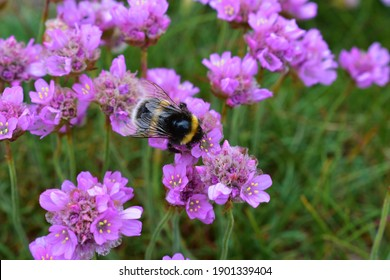 A bumblebee is packing its pollen baskets on the sea thrift or Armeria maritima. The pollen is seen sticking to its fury body.