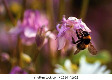 Bumble-bee pollinates pink blooming flowers of columbine (Aquilegia) in garden, closeup with blurry background.