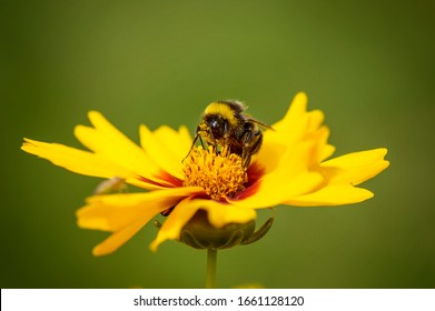 Bumblebee pollinates a yellow flower on a spring flowering meadow. A bumblebee collects pollen on a natural background