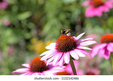 Bumble-bee is pollinating echinacea flower
