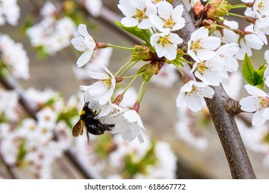 Bumblebee pollinating flowers of the cherry tree orchard blossoms on a spring day, close up
