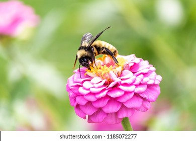 Bumblebee Pollinating Pretty Colorful Zinnia Flower