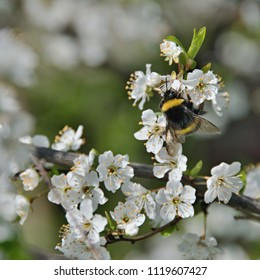 A bumblebee pollinating the white flowers of a fruit tree