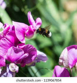 Bumblebee searching for honey on a Sweet Pea flower