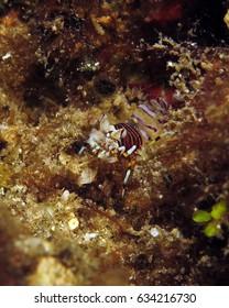 Bumblebee Shrimp