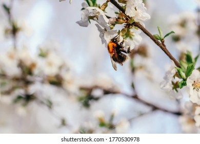 Bumblebee sits on a branch of a blossoming tree against the sky. White cherry flowers. Green leaves of a tree. Bumblebee close-up. Bumblebee collects nectar. Wild bumblebee.  Spring sunny day.