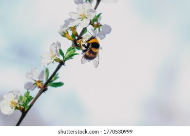 Bumblebee sits on a branch of a blossoming tree against the sky. White cherry flowers. Green leaves of a tree. Bumblebee close-up. Bumblebee collects nectar. Wild bumblebee. Flowers on a tree.