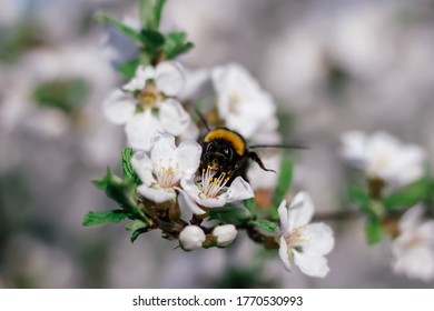 Bumblebee sits on a branch of a flowering tree. White cherry flowers. Green leaves of a tree. Bumblebee near. Bumblebee collects nectar. Wild bumblebee. White spring flowers. Flowers on a tree.