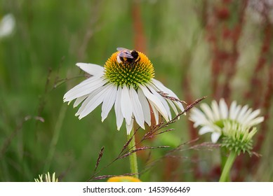 Bumblebee sitting on a blooming white flower of the type Echinacea purpurea alba on a meadow