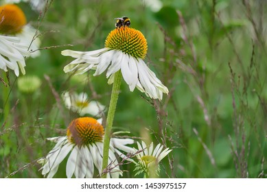 Bumblebee sitting on a blooming white flower of the type Echinacea purpurea alba on a green meadow