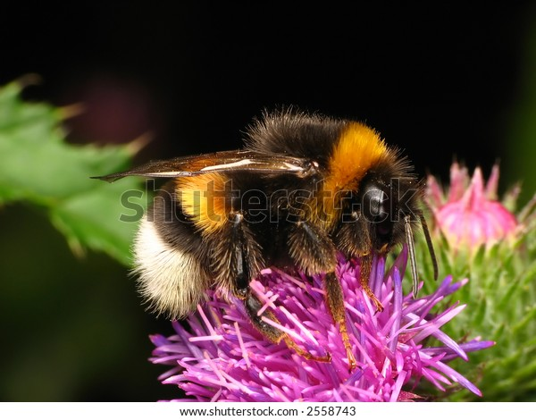 Bumble-bee sitting on the flower