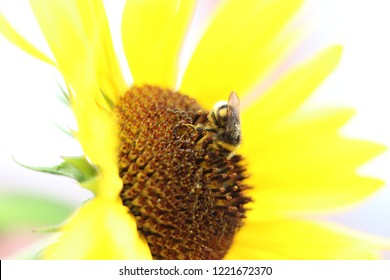 Bumblebee sitting on a sunflower