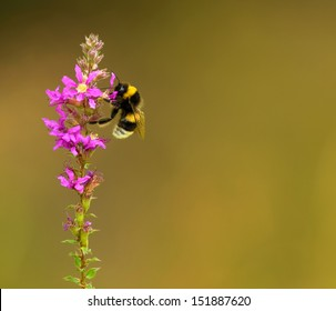 Bumble-bee sitting on the wild flower closeup