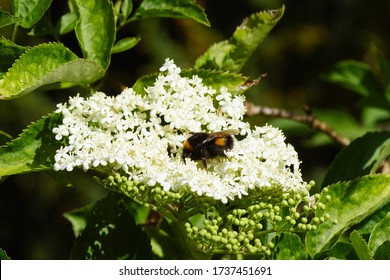 Bumblebee species in the Bombus terrestris-complex on the flowers of elder (Sambucus nigra), family Adoxaceae. In a Dutch garden in the spring.