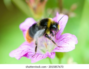 Bumblebee is sucking nectar from flower.