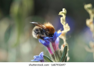 A bumblebee in the summer garden looking for nectar