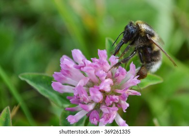 Bumblebee with Tongue out on Red Clover in Denmark