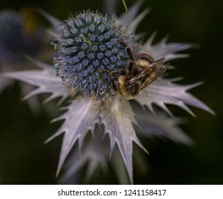 A bumblebee visiting an Eryngium. Eryngium alpinum (family: Apiaceae, also known as Umbelliferae) is also known as alpine sea holly, alpine eryngo, queen of the Alps.