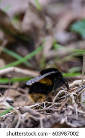Bumblebee walking on the forest floor in early spring