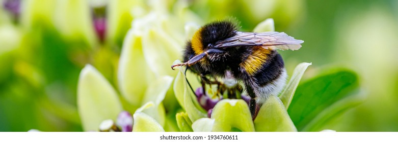 Bumblebee and white Flower, closeup. Small honey plant, attracting pollinators such as honey bees or bumblebee , banner