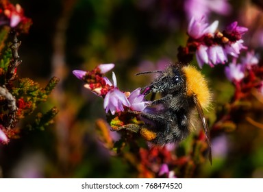 Bumblebee at Work on a Heather Flower