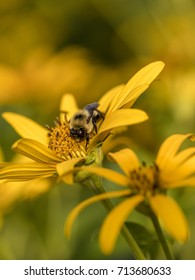 bumblebee, also written bumble bee, is any member of the bee genus Bombus, in the family Apidae