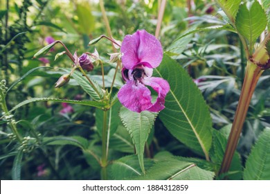 Bumblebee's cute butt in a flower. Honey bee. Insect pollinates a flower. Stock photography selective focus. Blurred background.