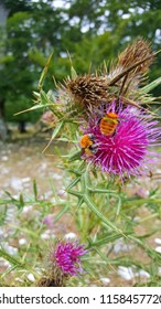 bumblebees full of pollen in a milk thistle