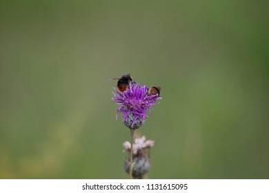 Bumblebees on the blossom of a thistle plant