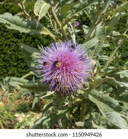 Bumblebees on the Flower Head of a Cardoon (Cynara cardunculus) in a Country Cottage Garden in Rural Devon, England, UK
