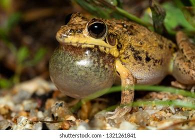 Bumpy rocket frog (Litoria inermis) calling. Davies Creek, Queensland, Australia