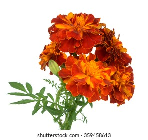 bunch of Africa marigold isolated on white background
