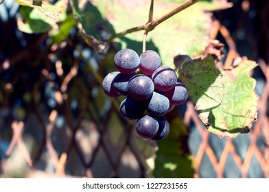 Bunch of autumn blue grapes among dry leaves