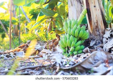 Bunch of banana, Agricultural plantation at Chantaburi Thailand.