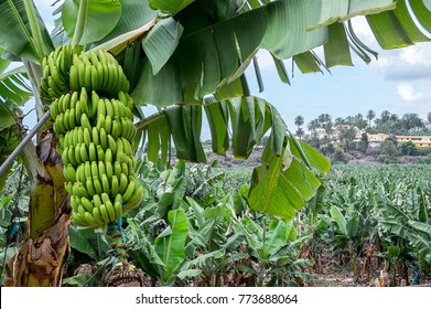 Bunch of bananas and landscape in a plantation of the north of Tenerife, Canary Islands
