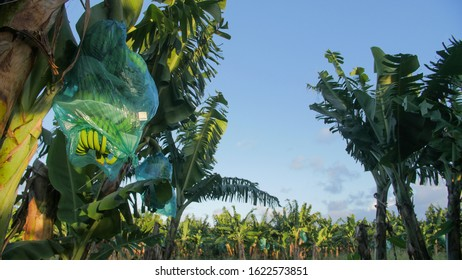 Bunch of Bananas on the tree in a field