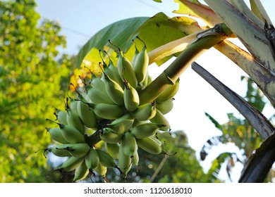 Bunch of Bananas ready to harvest hanging on the banan tree. Selective focus  image.