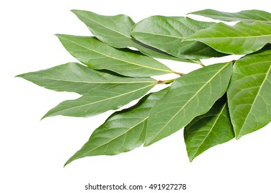Bunch of bay leaves on white background