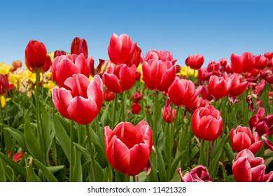 A bunch of beautiful, colourful springtime tulips