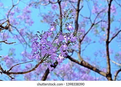 A bunch of beautiful Jacaranda obtusifolia (Green ebony, Jacaranda), dark purple bud flowers and blossom having blue sky as background.