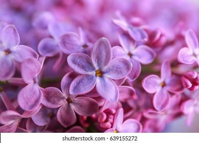 Bunch of beautiful lilac flowers, closeup