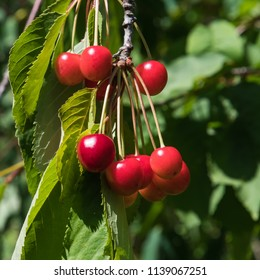 Bunch of beautiful red ripe cherries hanging on a branch in a tree