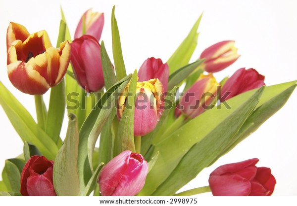 bunch of beautiful red tulips isolated on white background