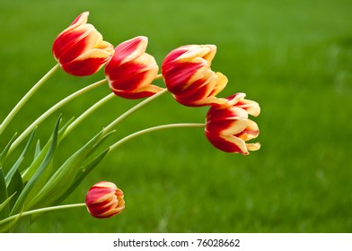 Bunch of beautiful red and yellow tulips with small side flower on green natural background (horizontal)