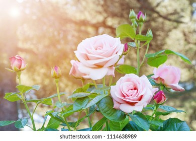bunch of beautiful roses bloom in the garden or roses bouquet with glowing light