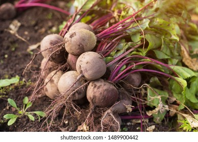 Bunch of Beets harvest on ground in the garden closeup