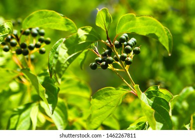 Bunch of berries of wild bushes in the mountains